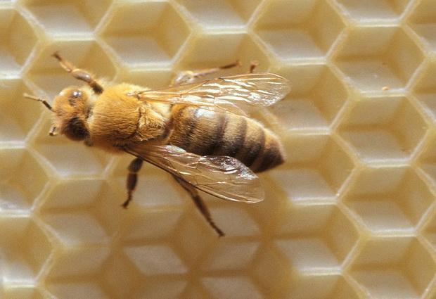 Пчелы — помощники в борьбе с раком