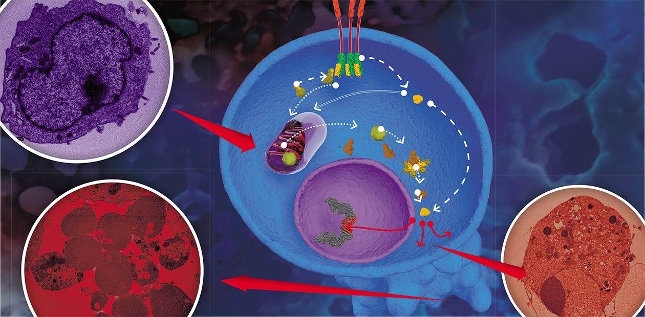 Клеточная смерть, воспаление и рак