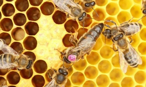 Пчелиный яд может быть лекарством от рака