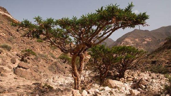 Лекарство от рака нашли в смоле священного дерева