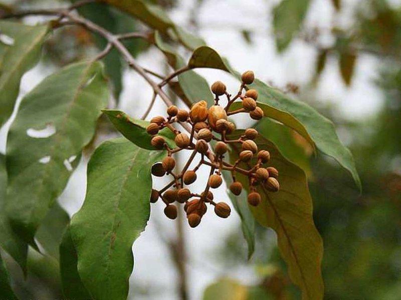 Рак печени можно лечить экстрактом этого растения
