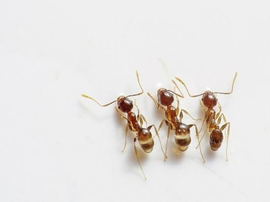 Биологи из России нашли лекарство от рака в муравьях