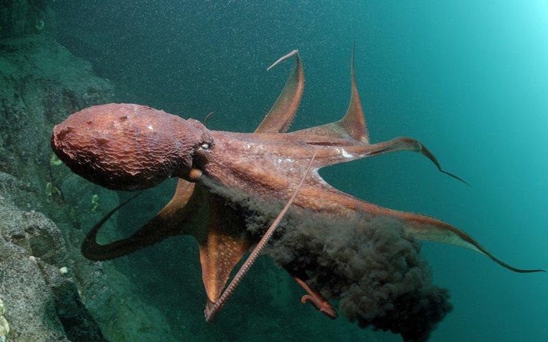 Китайские ученые: чернила каракатицы могут помочь в лечении рака