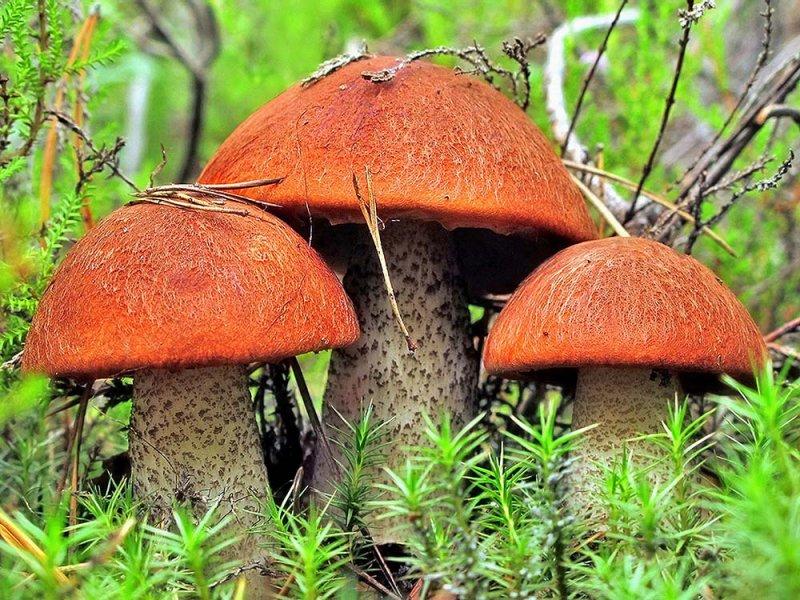 Для защиты от рака простаты нужны грибы