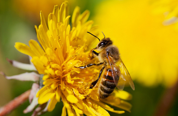 Ученые нашли в яде пчелы средство от рака груди