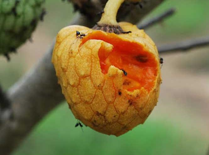 Сахарное яблоко и травы ложной смородины из Африки показывают противораковую активность