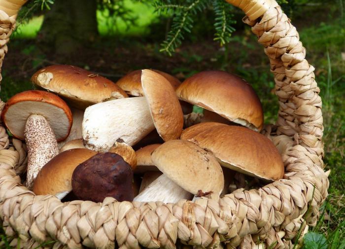 У грибов доказан безусловный противораковый эффект