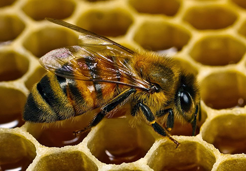 Медоносные пчелы скрывают спасение от рака, уверены онкологи